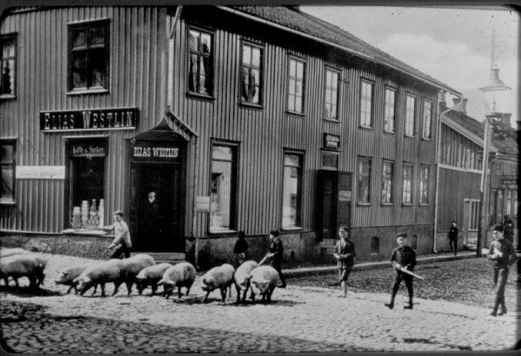 Boys shepherding pigs in front of a two story building.
