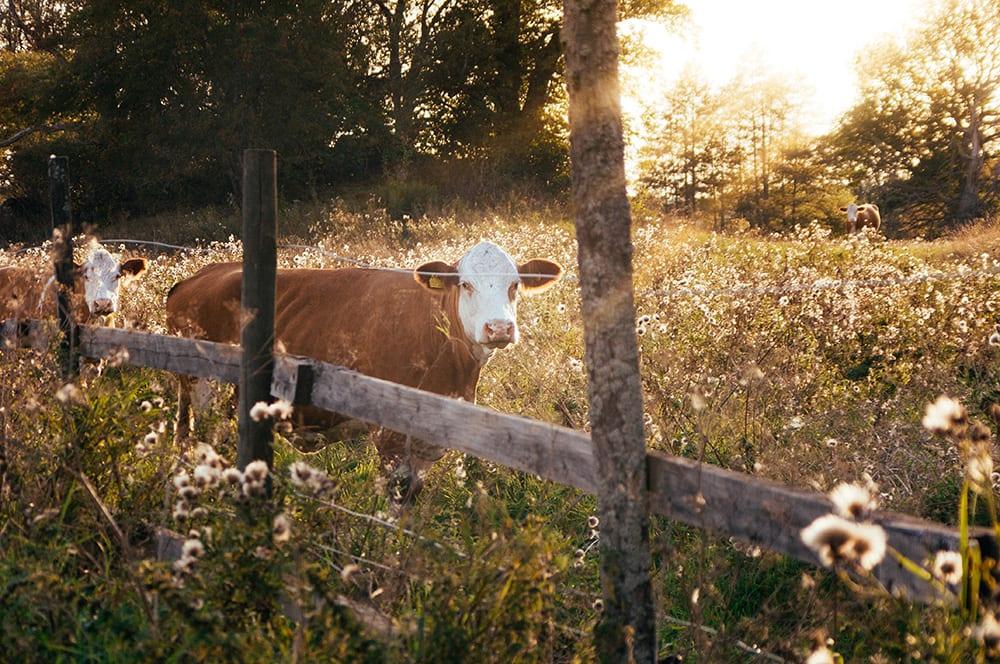 A Swedish cow.